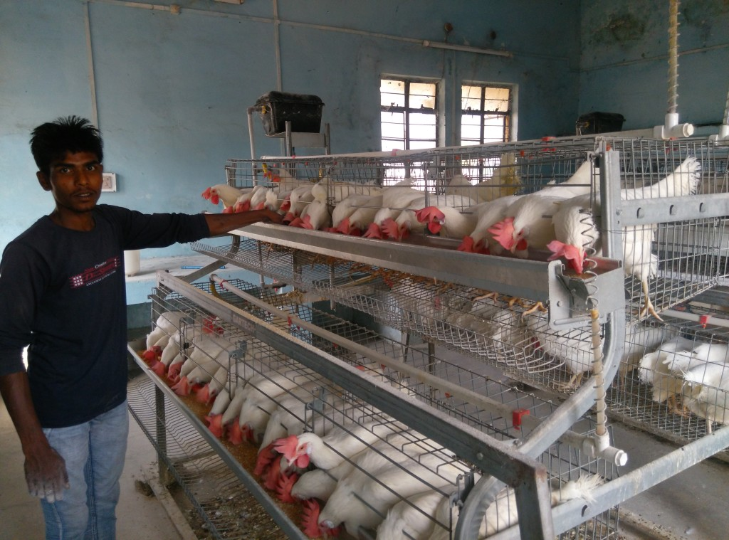 Routine operation of layer farm